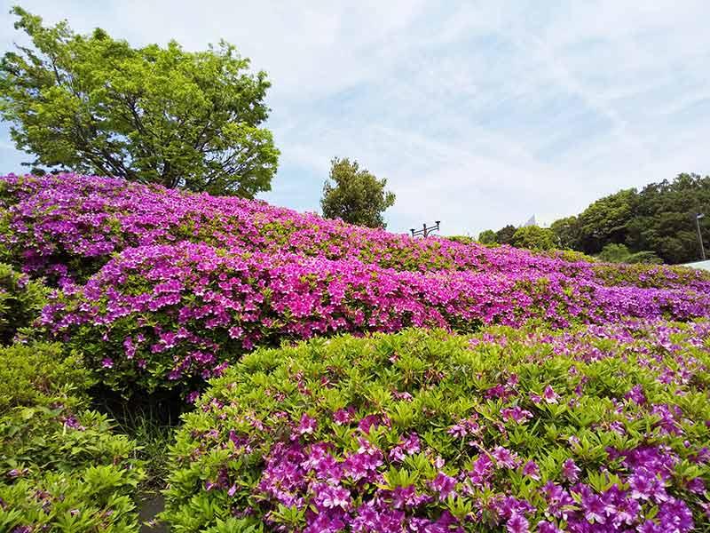 AQUOS sense2のカメラのAIオートで撮影したお花畑の写真