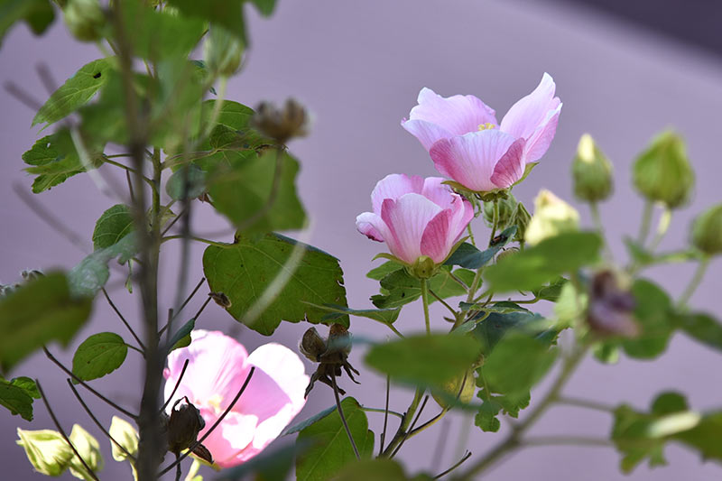 Nikon D750 24-120mmレンズで撮影した作例 ピンク色の花の写真