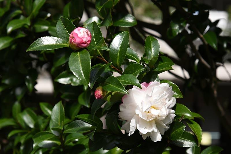 Nikon D750 24-120mmレンズで撮影した作例 花とつぼみの写真