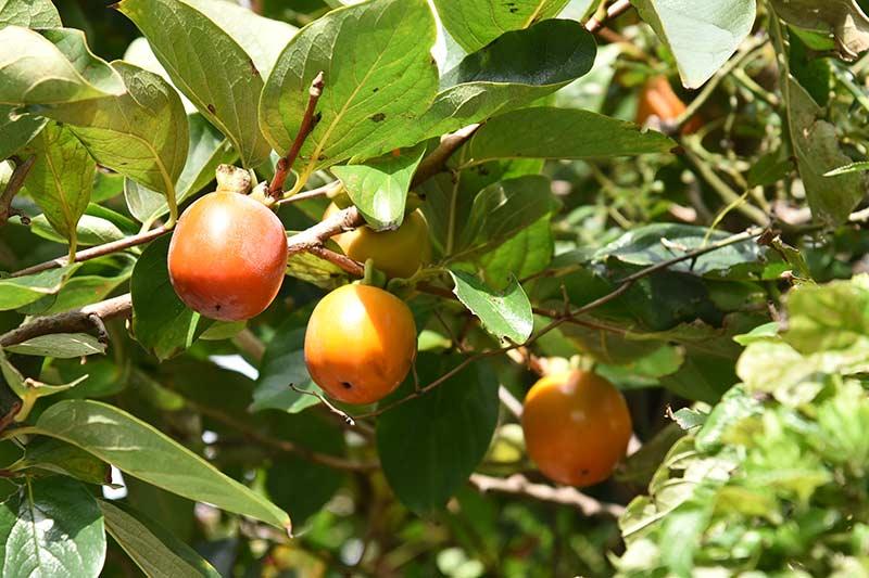 Nikon D750 24-120mmレンズで撮影した作例 柿の写真