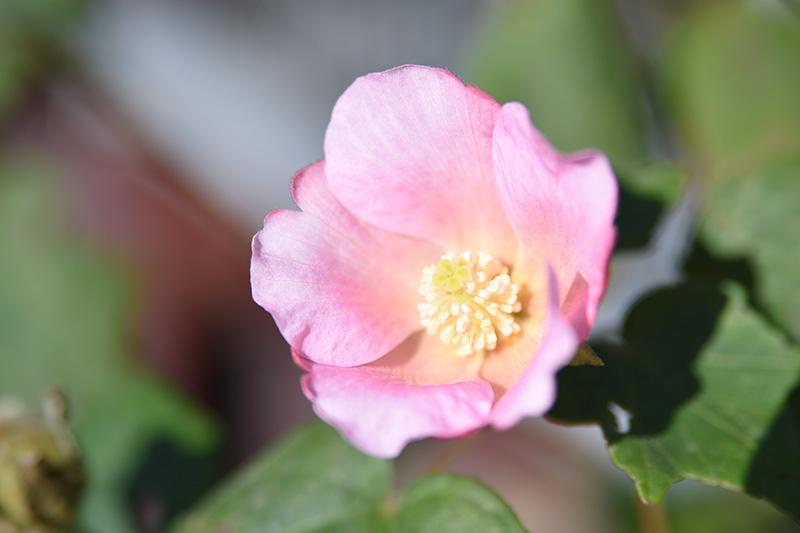タムロン 28-75 F2.8 ズームレンズの作例 ピンク色の花と花弁の写真