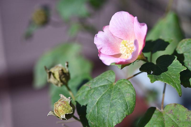 タムロン 28-75 F2.8 ズームレンズの作例 ピンク色の花とつぼみの写真