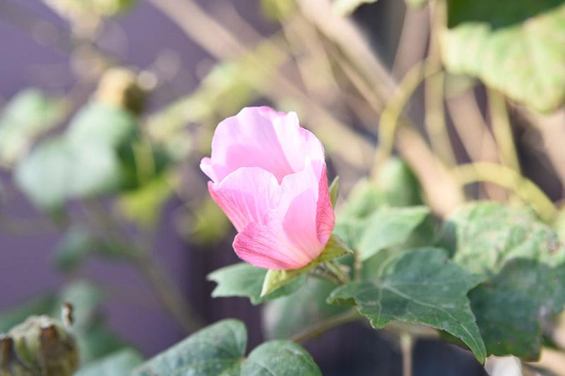 タムロン 28-75 F2.8 ズームレンズの作例 ピンク色の花の写真