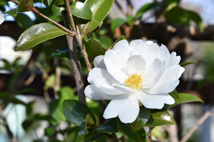 タムロン 28-75 F2.8 ズームレンズの作例 白い花の写真